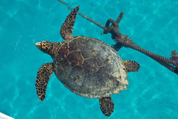 Karettschildkröte an der Wasseroberfläche bei Komandoo