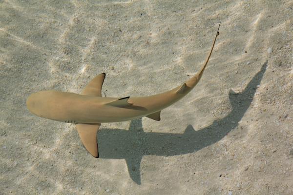 Schwarzspitzen-Riffhai in der Lagune von Komandoo