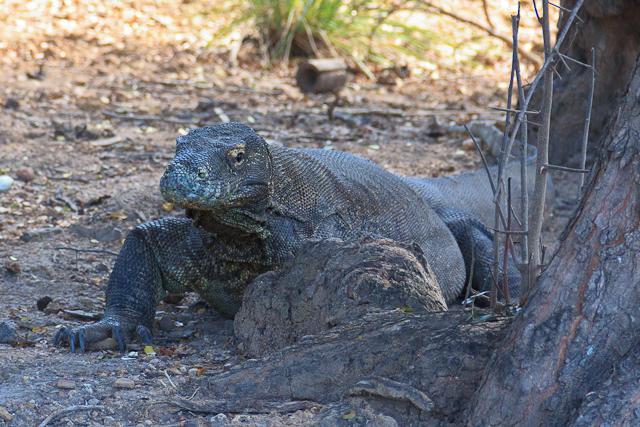 Ein Komodo Dragon auf der Insel Rinca im Komodo Nationalpark