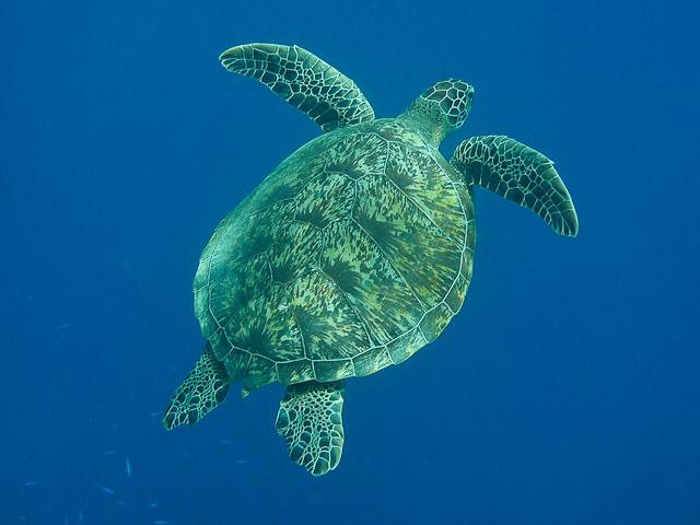 Gruene Meeresschildkröte