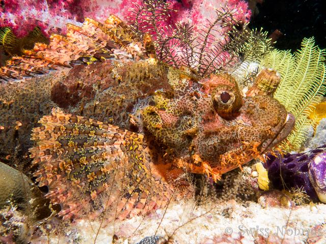Der Drachenkopf gehört ebenfalls zur Familie der Skorpionsfische und hat Giftstacheln