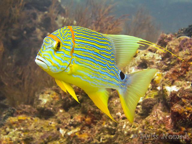 Gelber Fisch in Raja Ampat