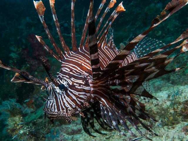 Der Rotfeuerfisch gehört zu der Familie der Skorpionsfische und besitzt Giftstachel