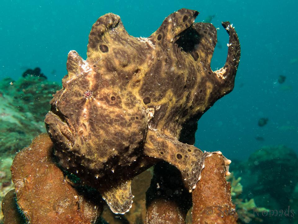 Ein riesiger Anglerfisch zwischen den Autoreifen am künstlichen Riff vor Dauin