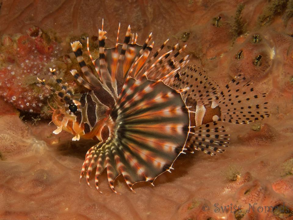 Wunderschöner Zebra Rotfeuerfisch