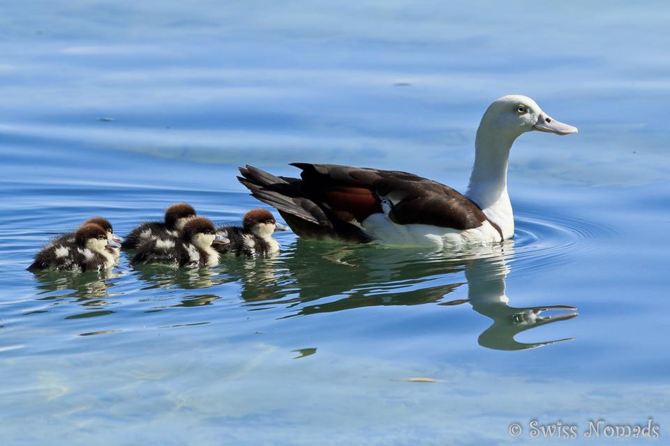 Eine Entenfamilie unterwegs in Raja Ampat