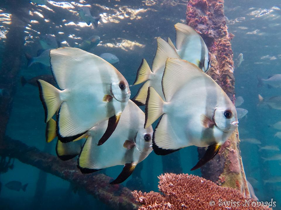 Gruppe von Fledermausfischen am Hausriff von Pulau Pef