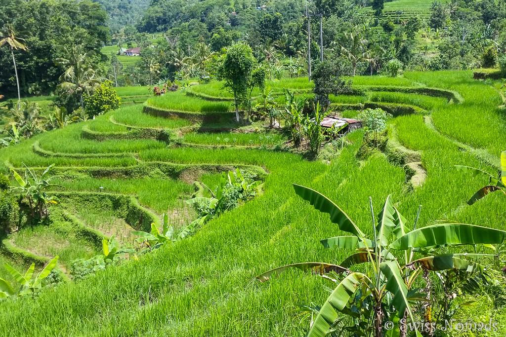 Jatiluwih Reisterrassen auf Bali