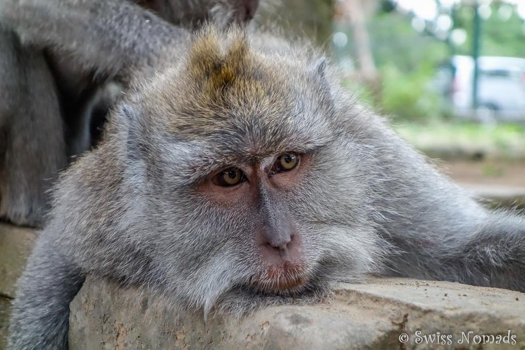 Makake in Ubud