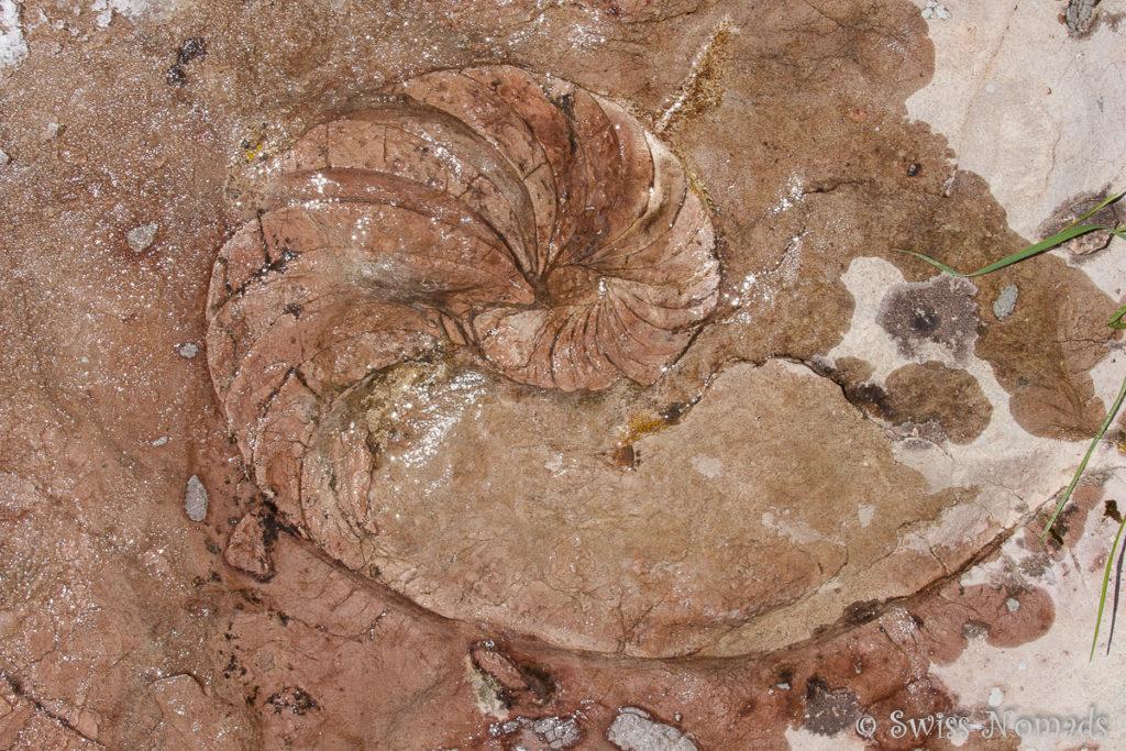 Versteinerter Nautilus am Monzabonsee beim Wandern in Lech