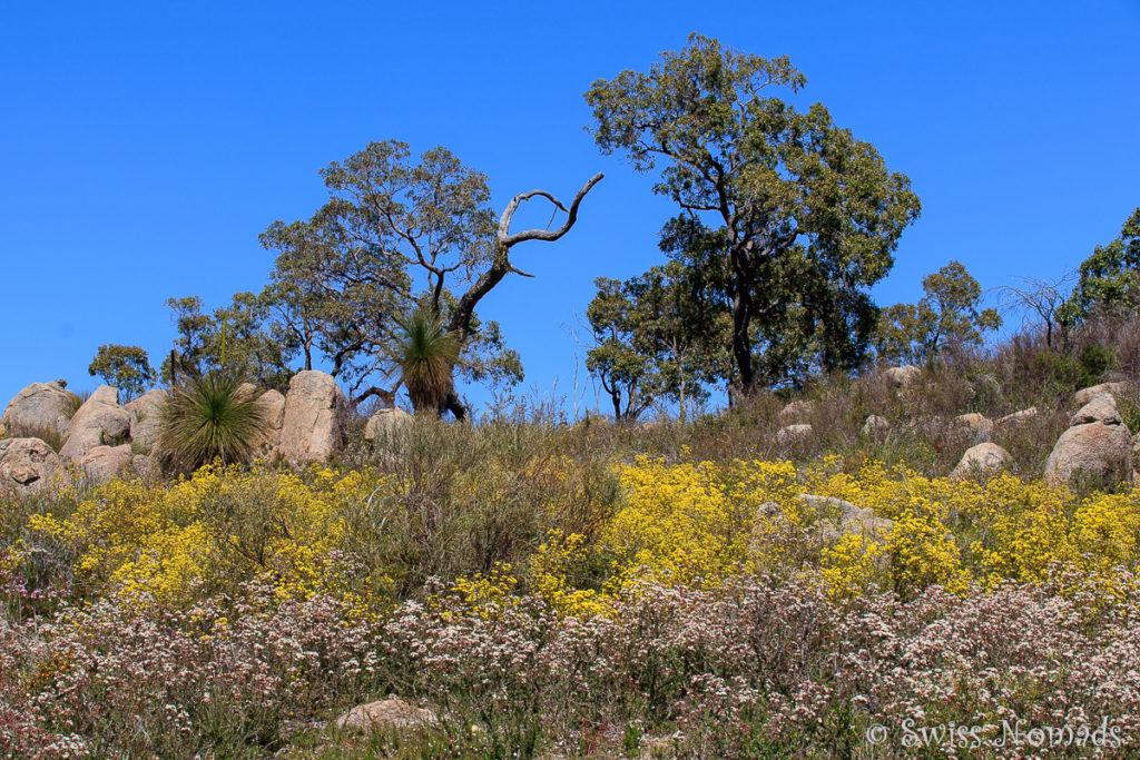 Wildblumenfeld Westaustralien