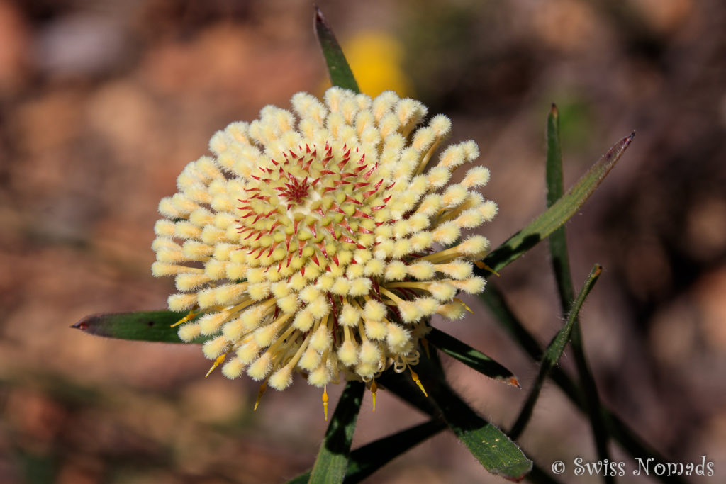 Wildblume im John Forrest Nationalpark