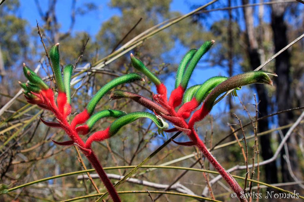 Wildblume Westaustralien