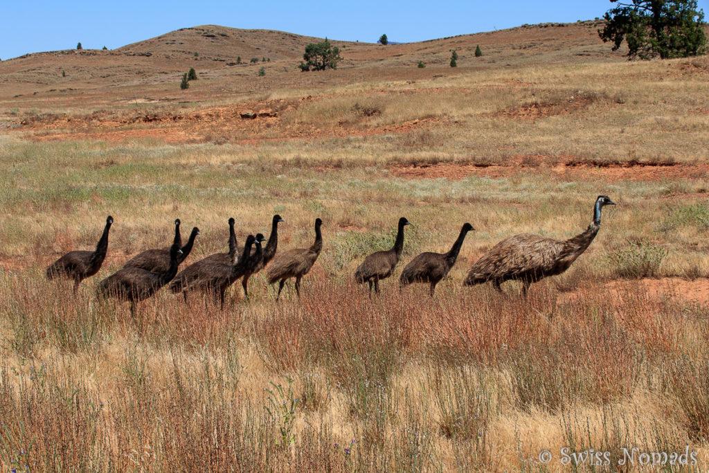Auch Emus haben wir während unseres Besuches viele gesehen.