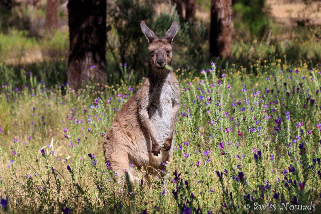 Im Flinders Ranges Nationalpark kannst du gut Kängoroos beobachten