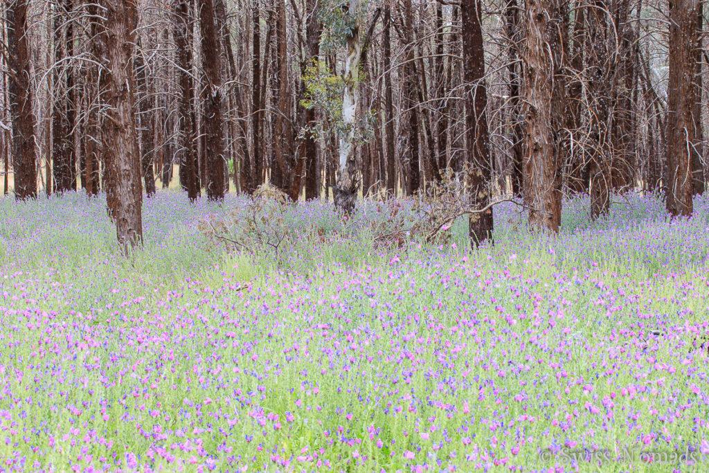 Die Wildblumen bringen sehr viel Farbe in den Flinders Ranges Nationalpark