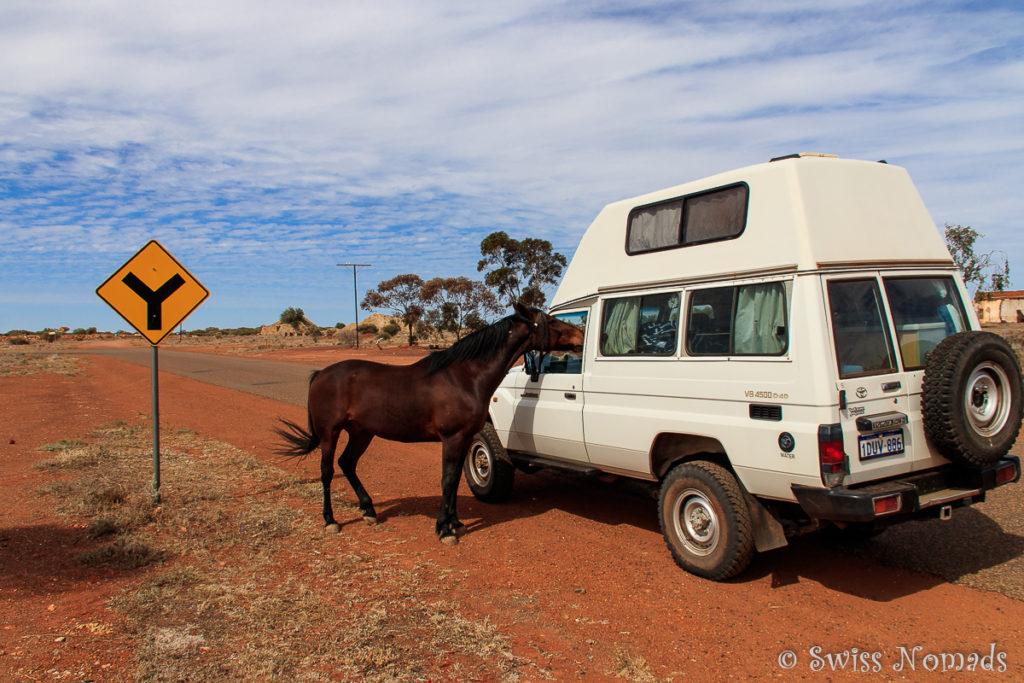 Das Pferd ist ein regelmässiger Gast im Grand Hotel.