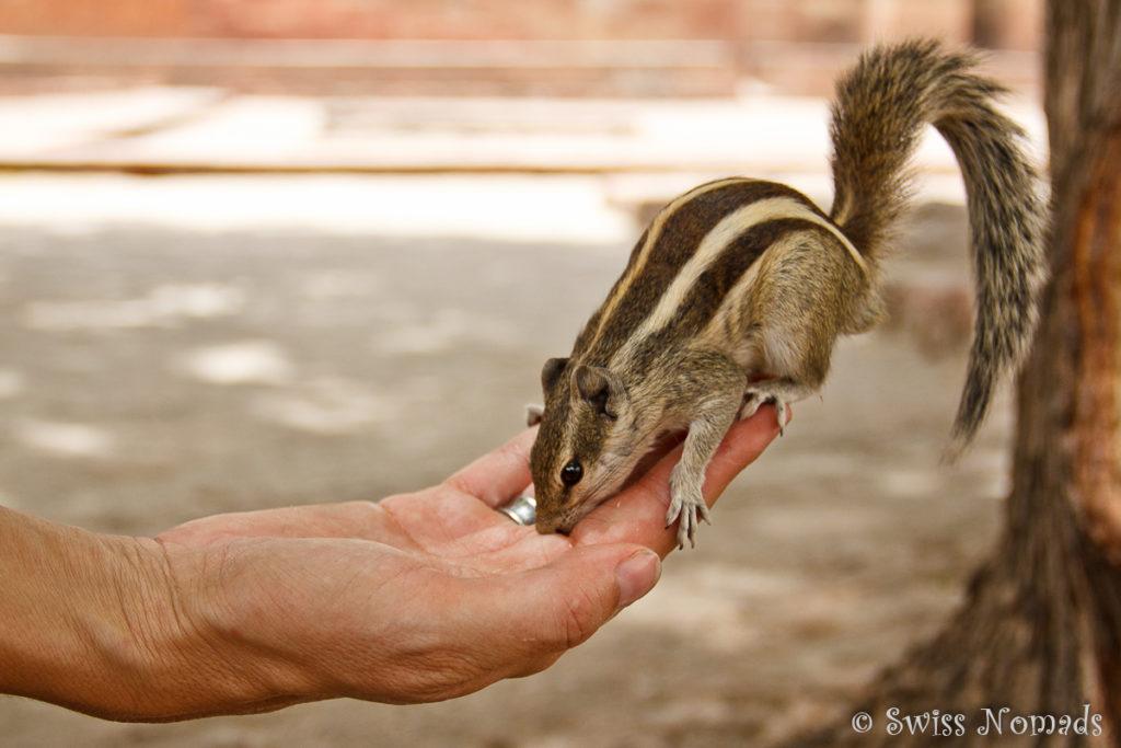 Streifenhoernchen auf der Hand von Reni