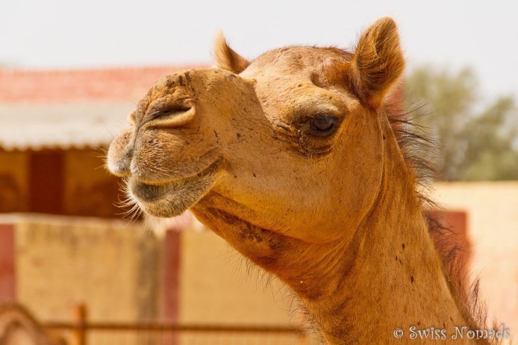 Mehrere 100 Kamele leben auf der Station in Bikaner