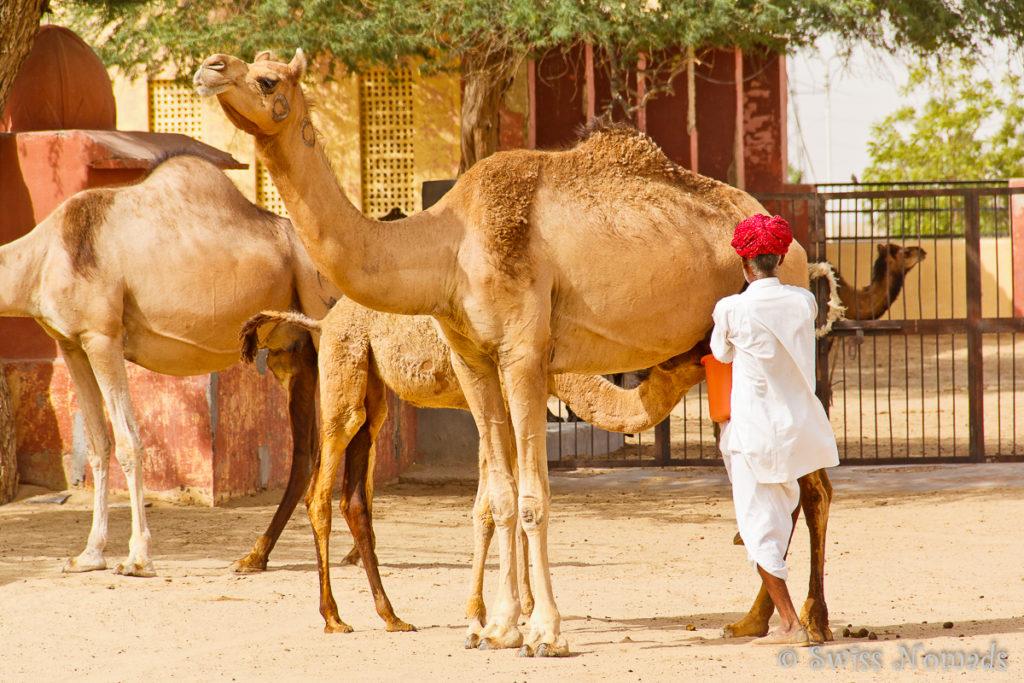 Die Kamele werden gemelkt und die Milch zu verschiedenen Produkten verarbeitet