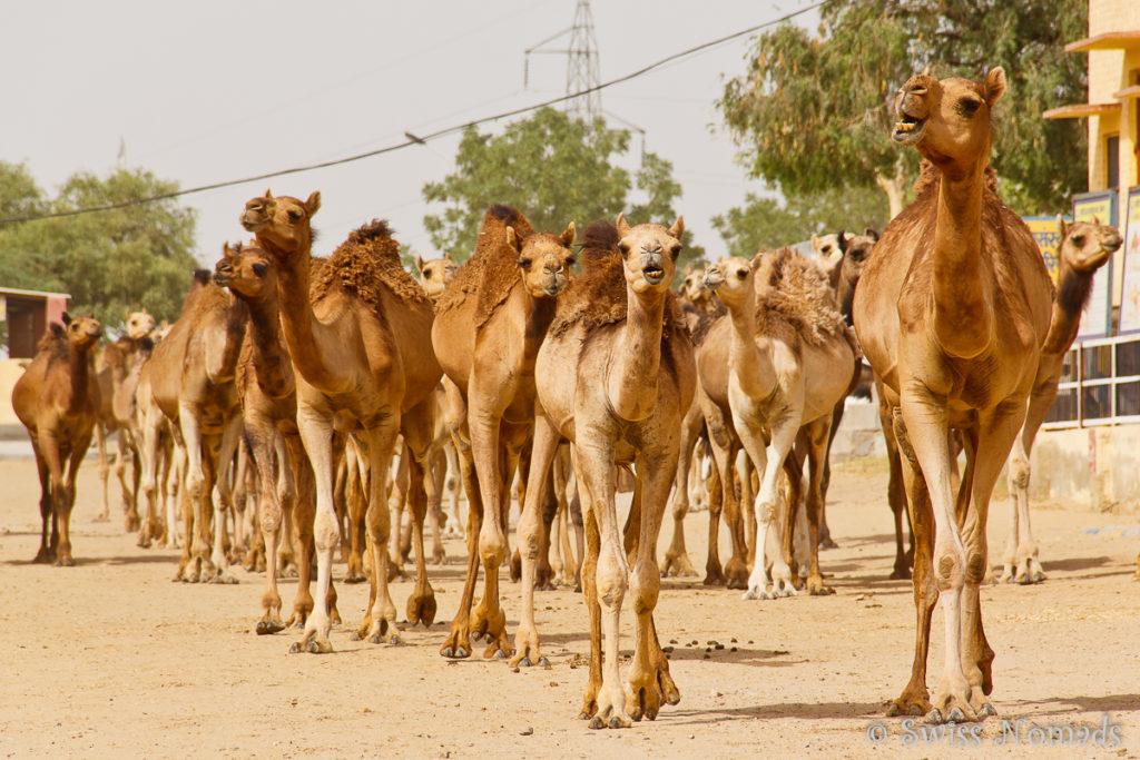 Auf der Kamelforschungsstation in Bikaner werden Kamele gezüchtet