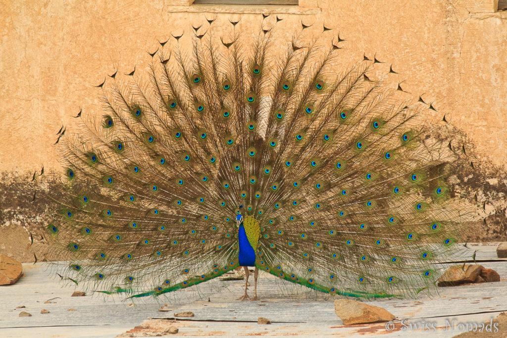 Wunderschöner Pfau in einem der Havelis in Mandawa