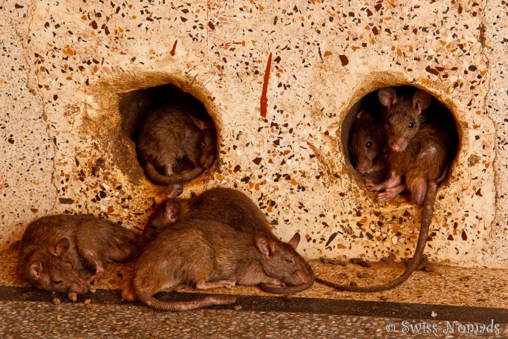 Überall verstecken sich die Ratten im Ratten Tempel von Deshnok