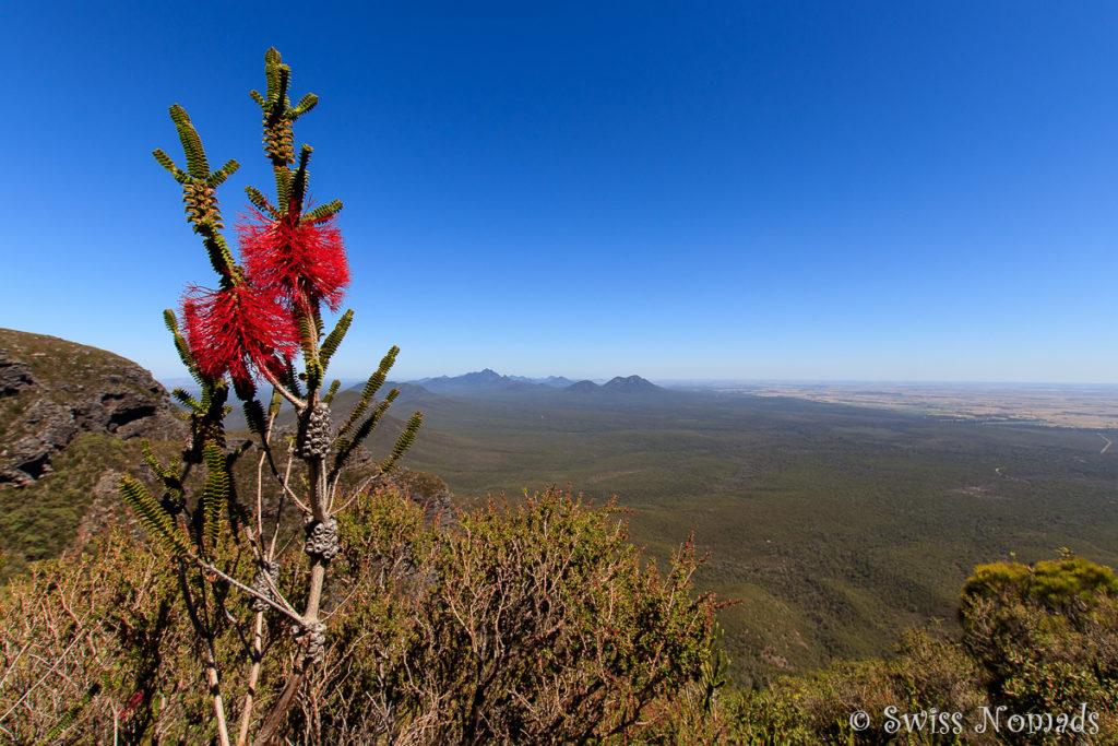 Banksia auf dem Bluff Knoll