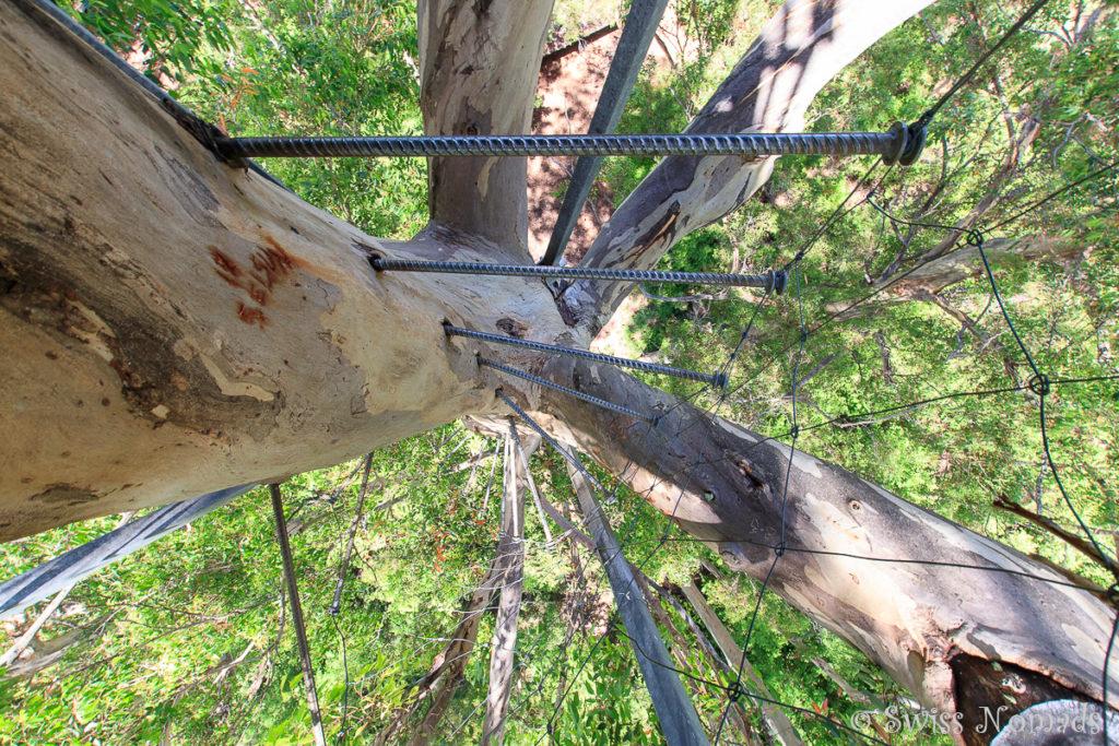 165 Eisenstangen führen auf den Riesenbaum bei Pemberton