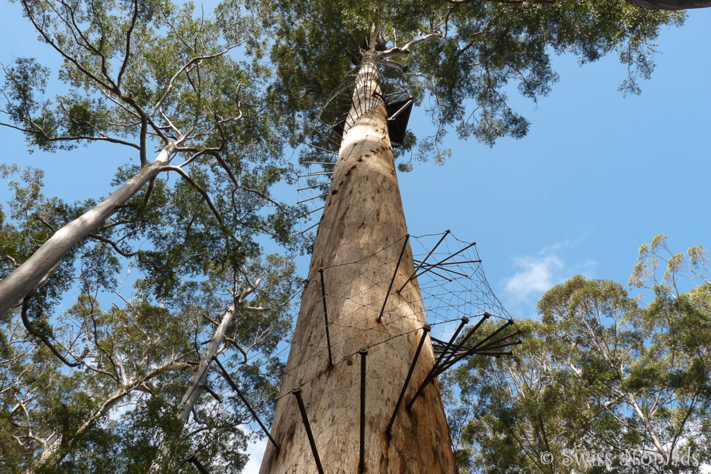 Die Eisenstangen bilden eine Wendeltreppe auf den Riesenbaum bei Pemberton