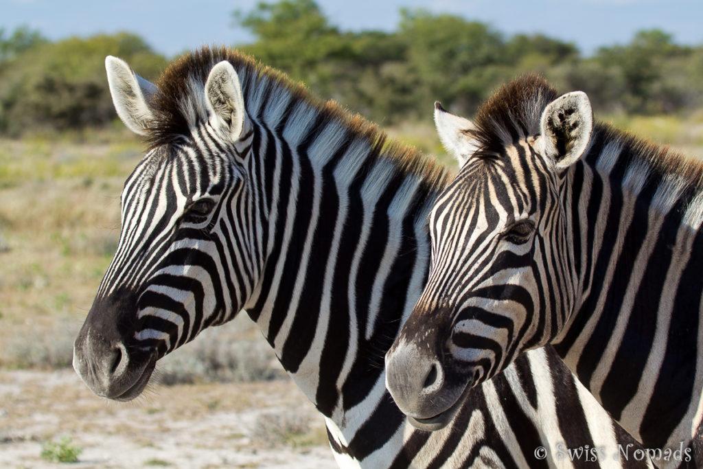 Die wilden Tiere in Namibia sind der Hammer