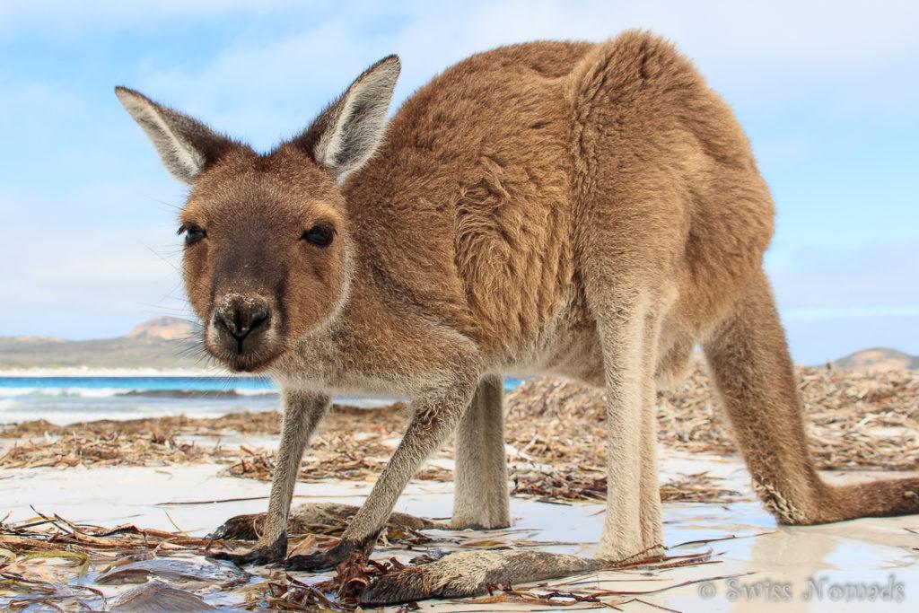 Känguru Lucky Bay WA