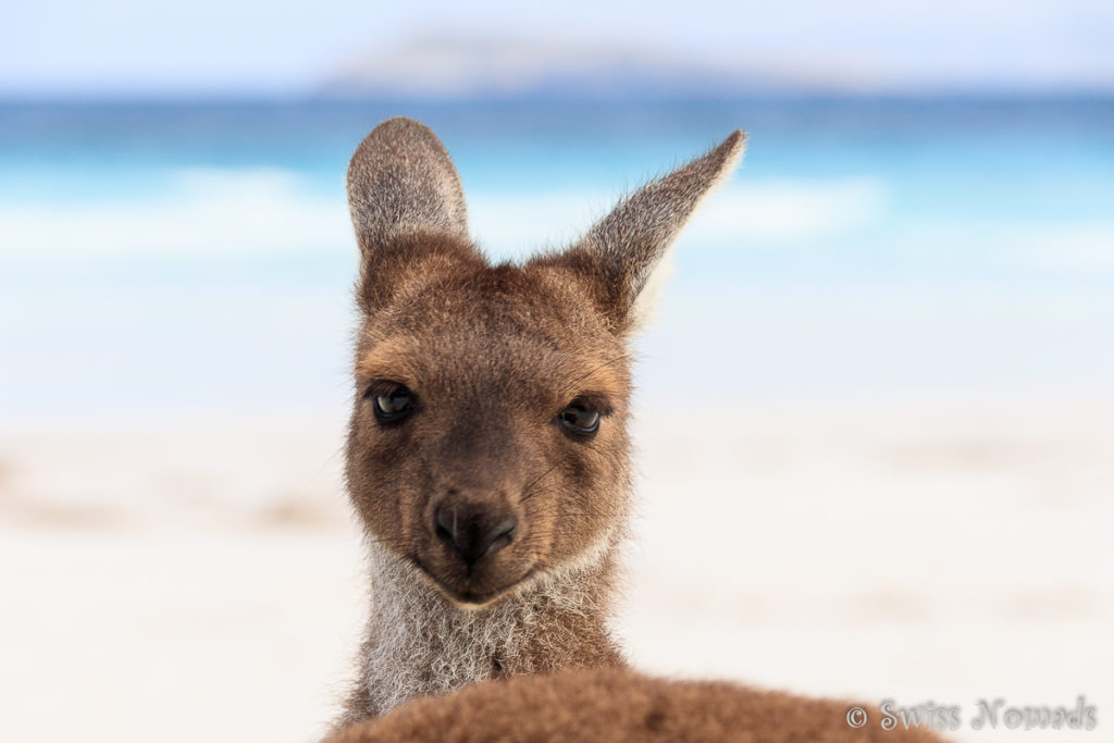 Känguru Portrait in der Lucky Bay