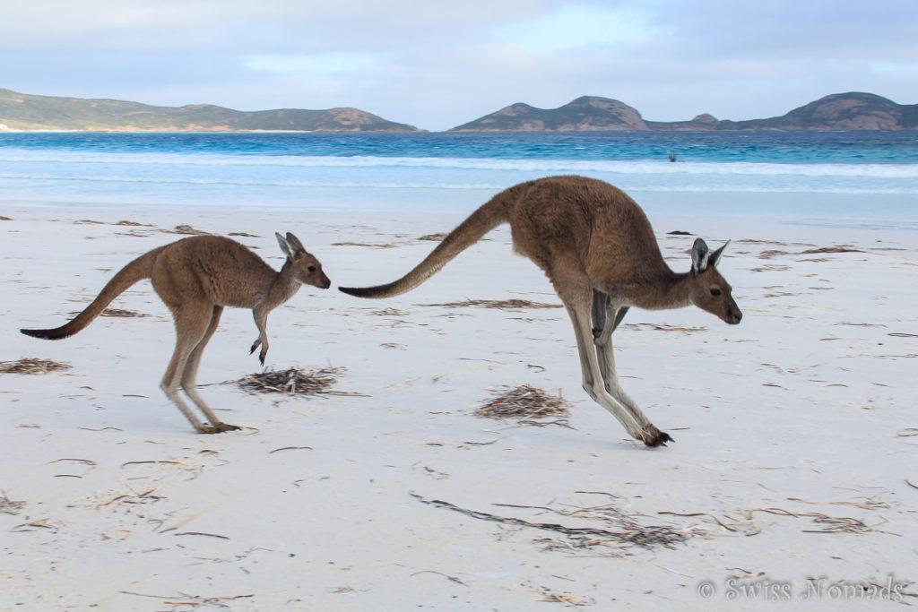 Kängurus am Strand in der Lucky Bay