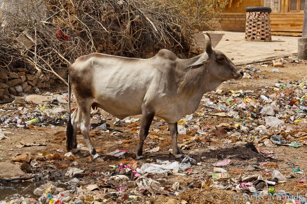 Kuh im Müll von Jaisalmer