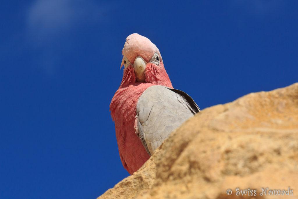 Galah in der Pinnacles Desert