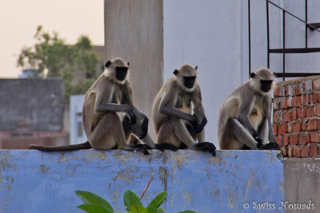 Interessierte Beobachter in der heiligen Stadt Pushkar