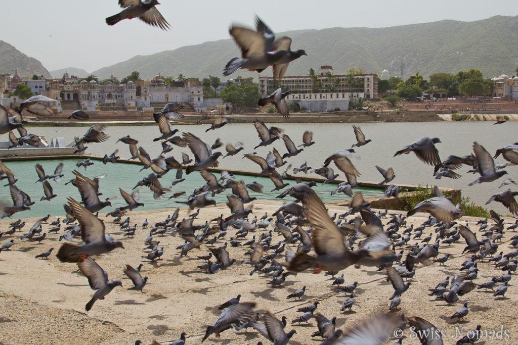 Tauben bei den Ghats am heiligen Pushkar See