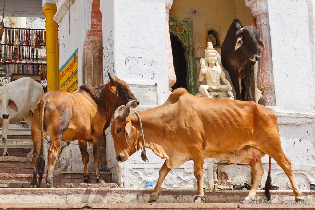 Kühe bei den Tempel in der heiligen Stadt Pushkar