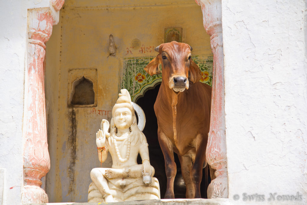 Kuh im Tempel in der heiligen Stadt Pushkar