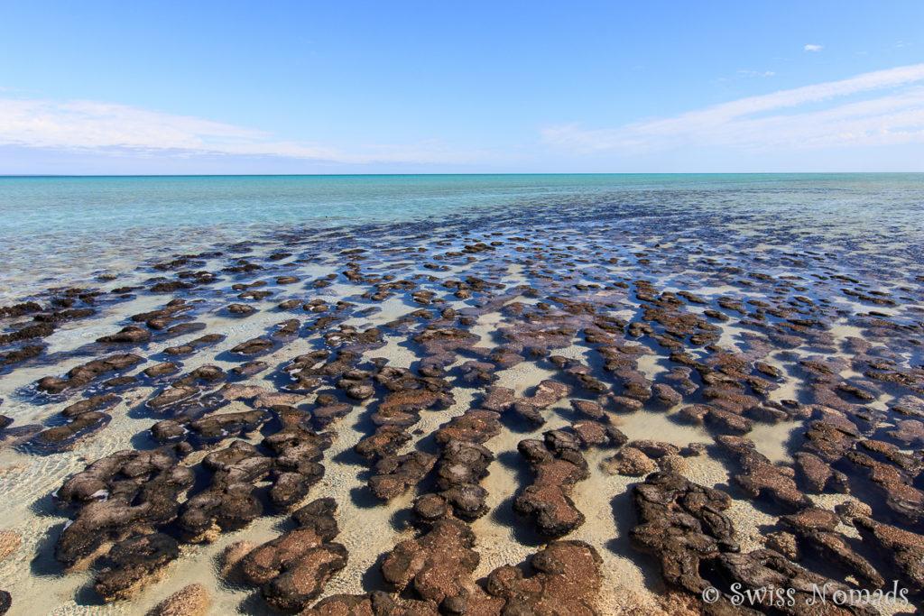 Stromatolithen im Haemlin Pool