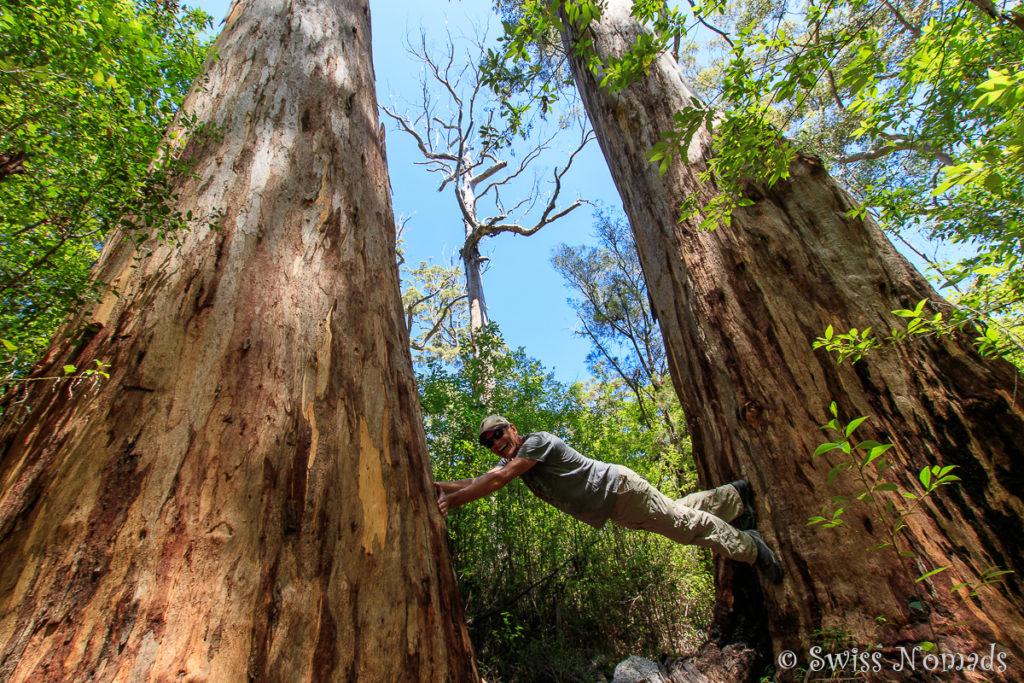 Riesige Bäume im Wald bei Walpole in Westaustralien