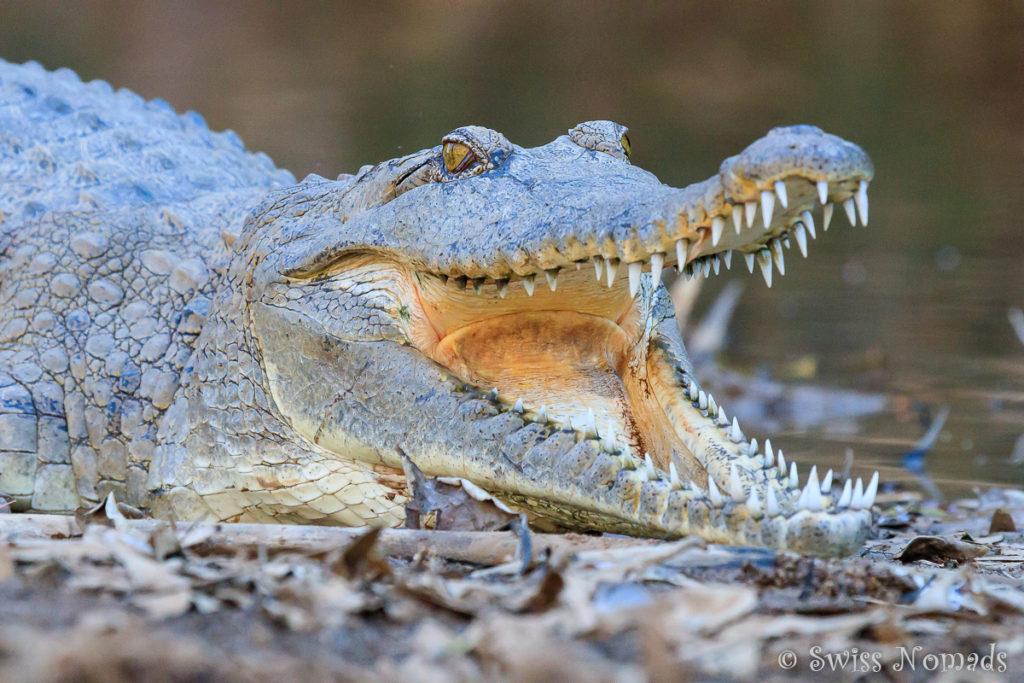 Die scharfen Zähne der Krokodile in der Windjana Gorge
