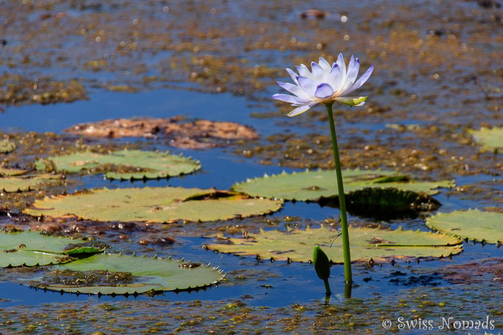 Seerose in der Lomarieum Lagoon im Limmen Nationalpark