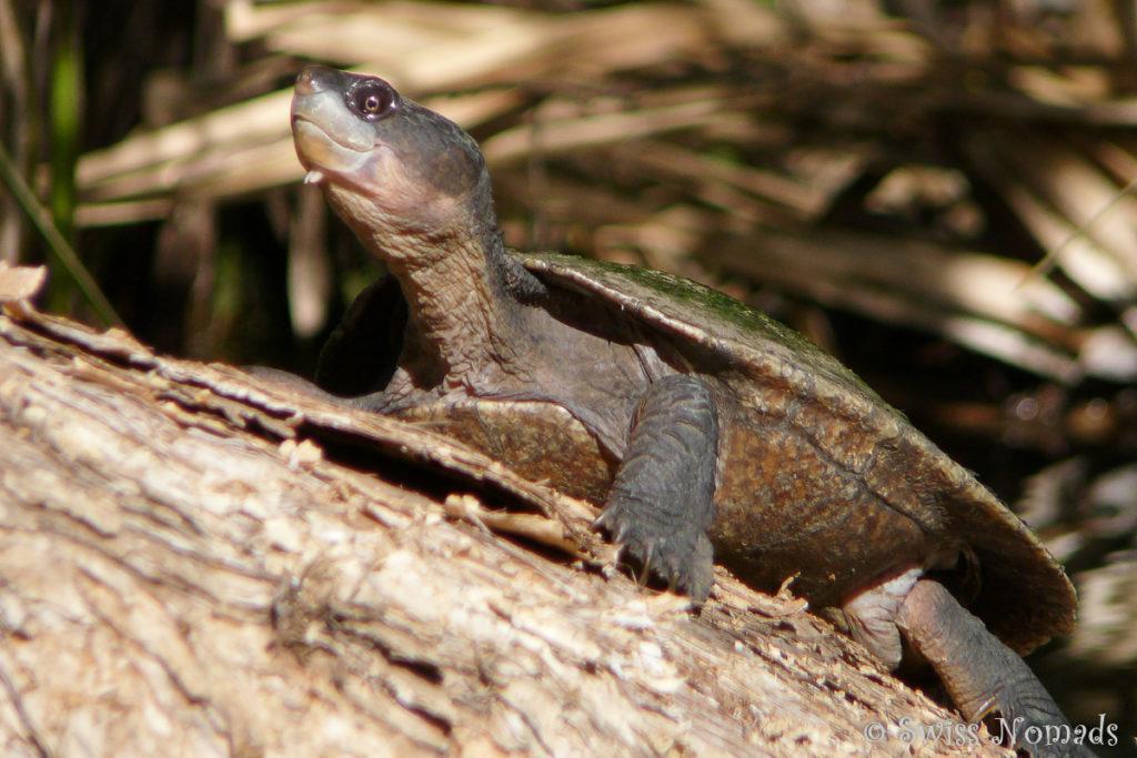Schildkröte im Boodjamulla / Lawn Hill Nationalpark