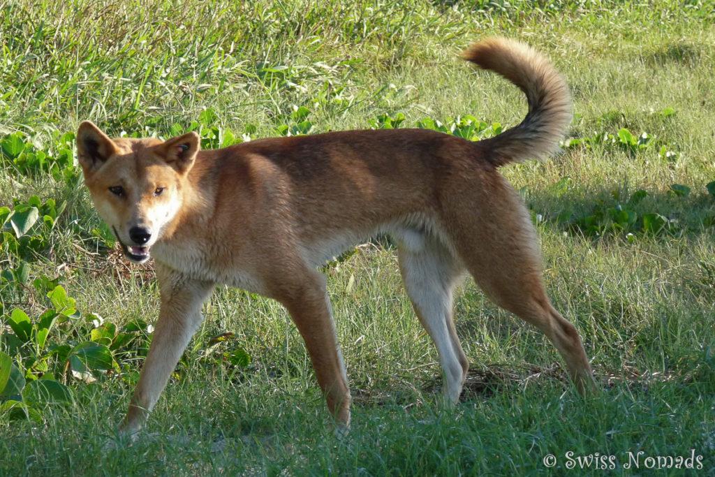 Ein Dingo auf Fraser Island in Australien