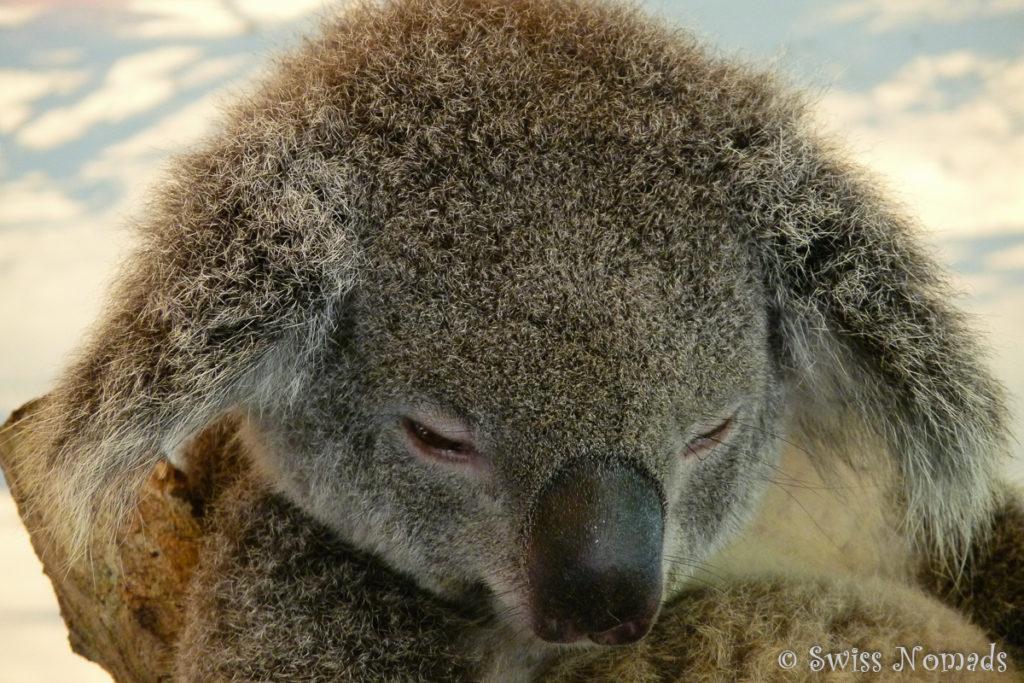 Ein schlafender Koala im Hartley's Crocodile Adventures