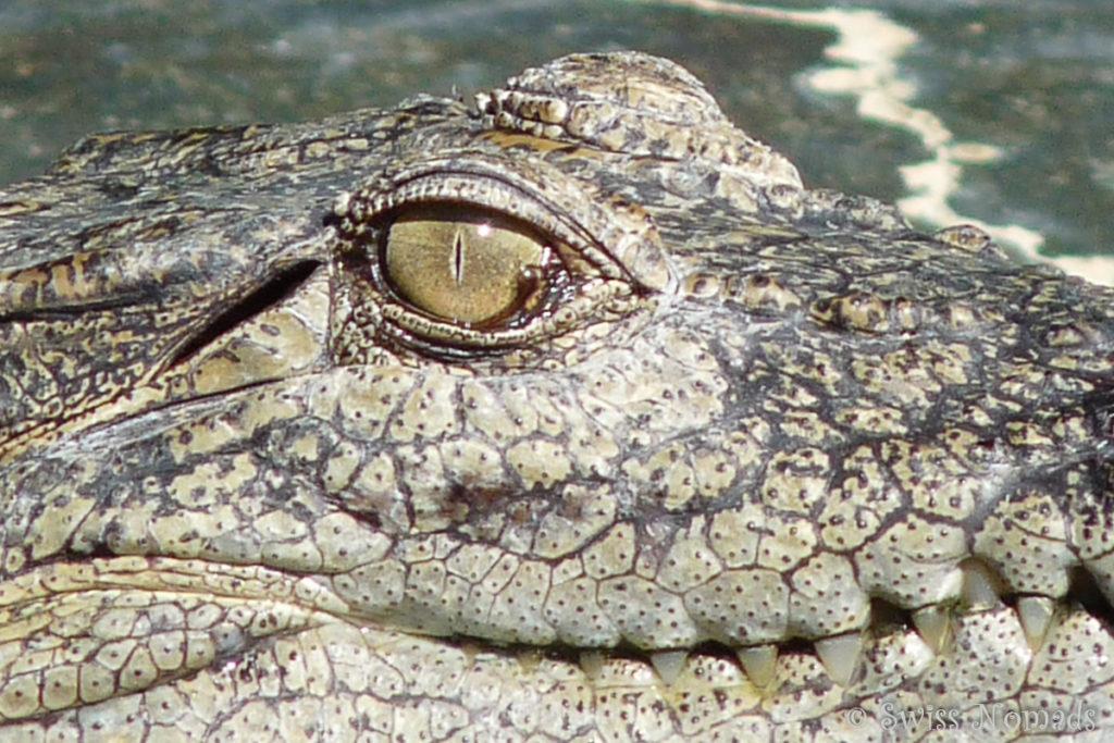 Auge in Auge mit einem Salzwasser Krokodil
