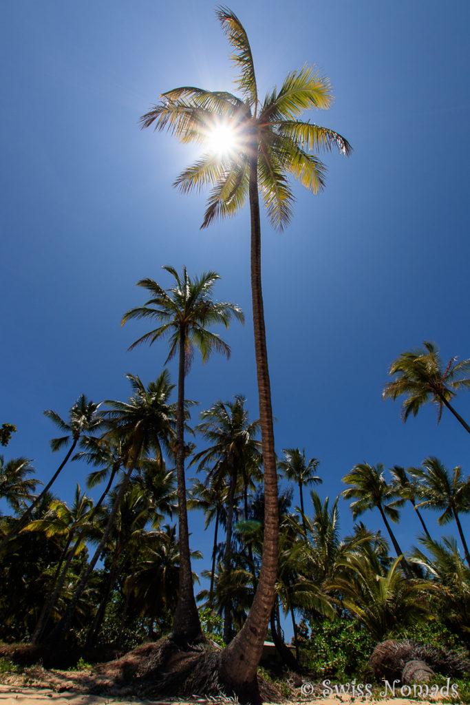Kokos Palme an der Mission Beach Australien