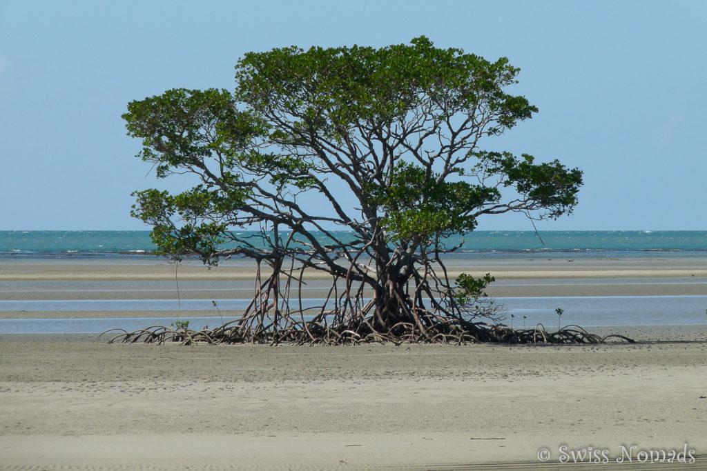 Mangrovenbaum am Cape Tribulation im Daintree Nationalpark